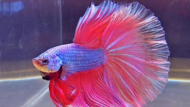 Ikan Cupang (youtube.com)