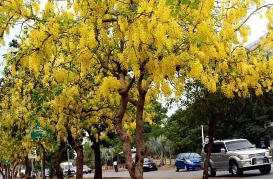 Brilliant yellow flowers called Amaltas or Laburnum tree add to the scenic beauty of Islamabad, Pakistan. Photo: Shabeer H. Masoom