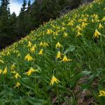 Yellow Glacier Lily (Erythronium grandiflorum) Meadow