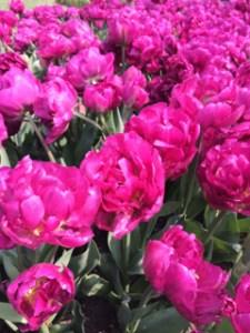 Tulpen fast wie Pfingsrosen