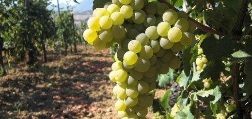 verdicchio grapes
