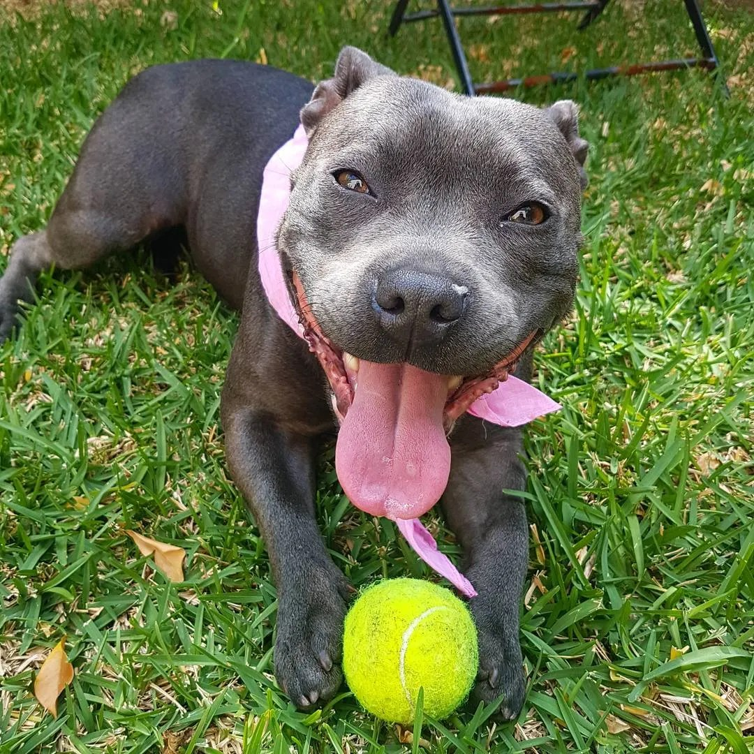 Astounding Dog Toys Pitbulls Toughest Dog Toys 2017 Toughest Squeaky Dog Toys Pit Bulls Toys Tough Enough bark post Toughest Dog Toys