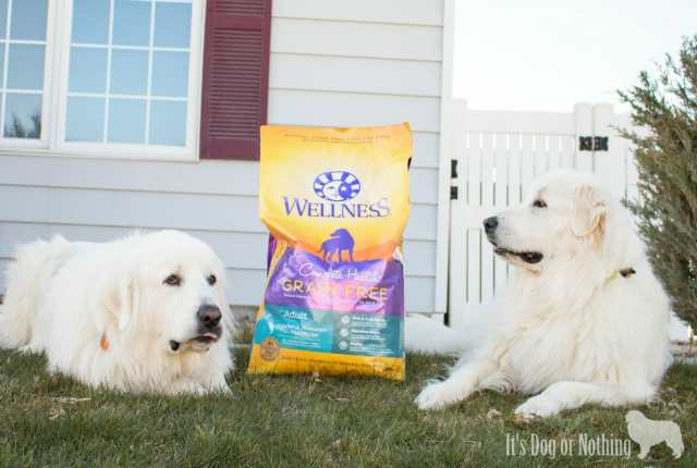 Great Pyrenees with Wellness Dog Food