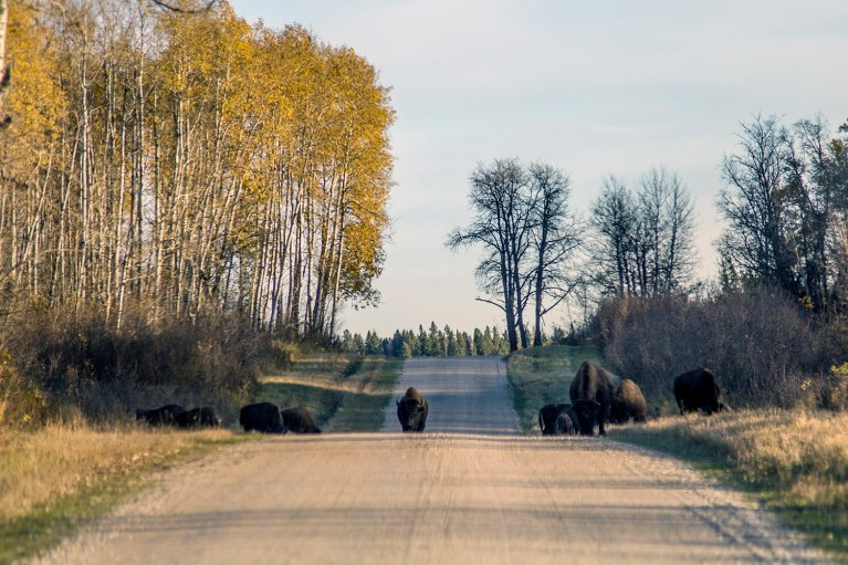 Riding Mountain National Park Bison - 20+ Photos Guaranteed to Inspire a Manitoba Road Trip :: I've Been Bit! A Travel Blog