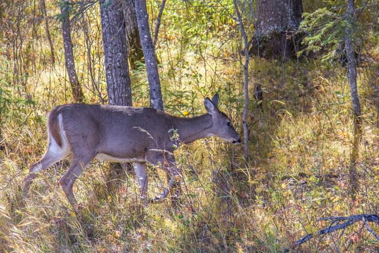 Deer in Riding Mountain National Park - 20+ Photos Guaranteed to Inspire a Manitoba Road Trip :: I've Been Bit! A Travel Blog
