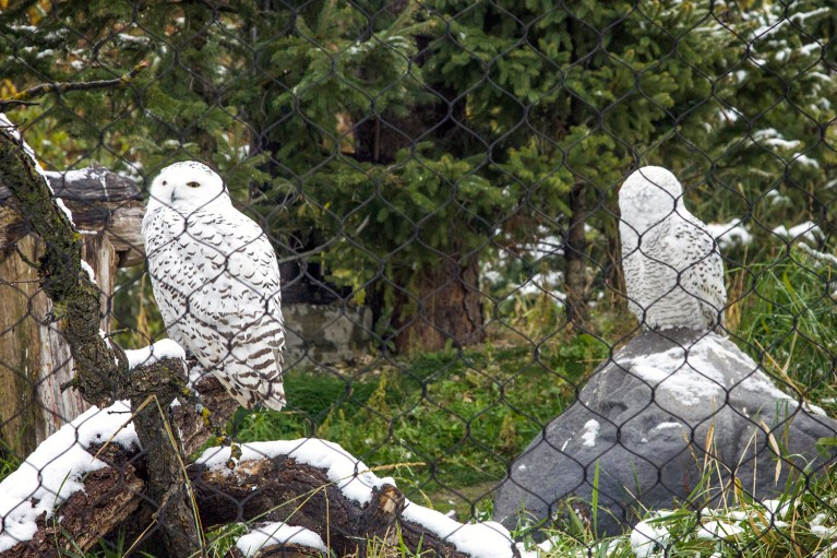 Snowy Owls of the Assiniboine Park Zoo, Manitoba Road Trip - 7 Days of Canadian Prairie Adventure :: I've Been Bit A Travel Blog
