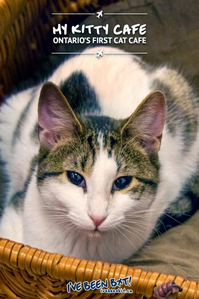 IveBeenBit.ca   My Kitty Cafe - A Purr-fectly Good Time at Guelph's Cat Cafe   Canada, Ontario, Guelph, Cafe, Cat Cafe, Travel   #Canada #Ontario #Guelph #Cafe #CatCafe #Travel #DontShopAdopt #AdoptDontShop #CatAdoption  