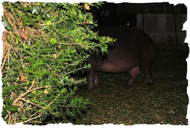 nijlpaarden_midden_in_de_nacht