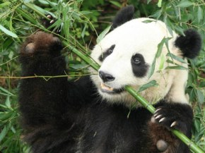 The panda that faked her pregnancy to get extra food.