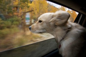"""Dear Golden Retriever, no you may not sit on my lap while I drive."""