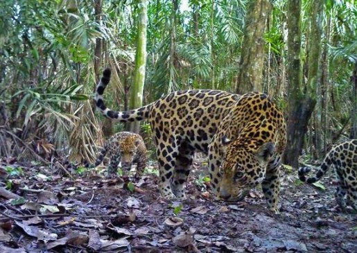 A jaguar mother with her two cubs in a Colombian oil palm plantation.
