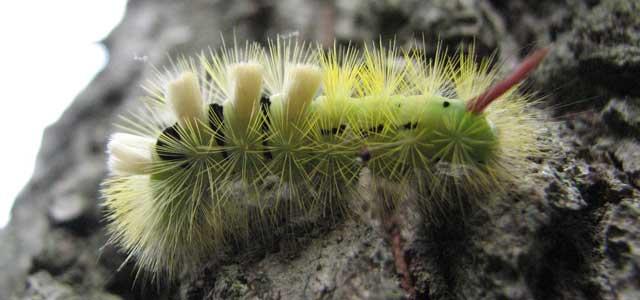 Pale tussock larva, Briddlesford Copse