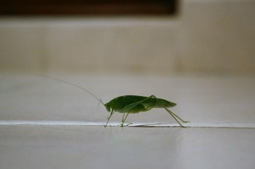 grasshopper_1080