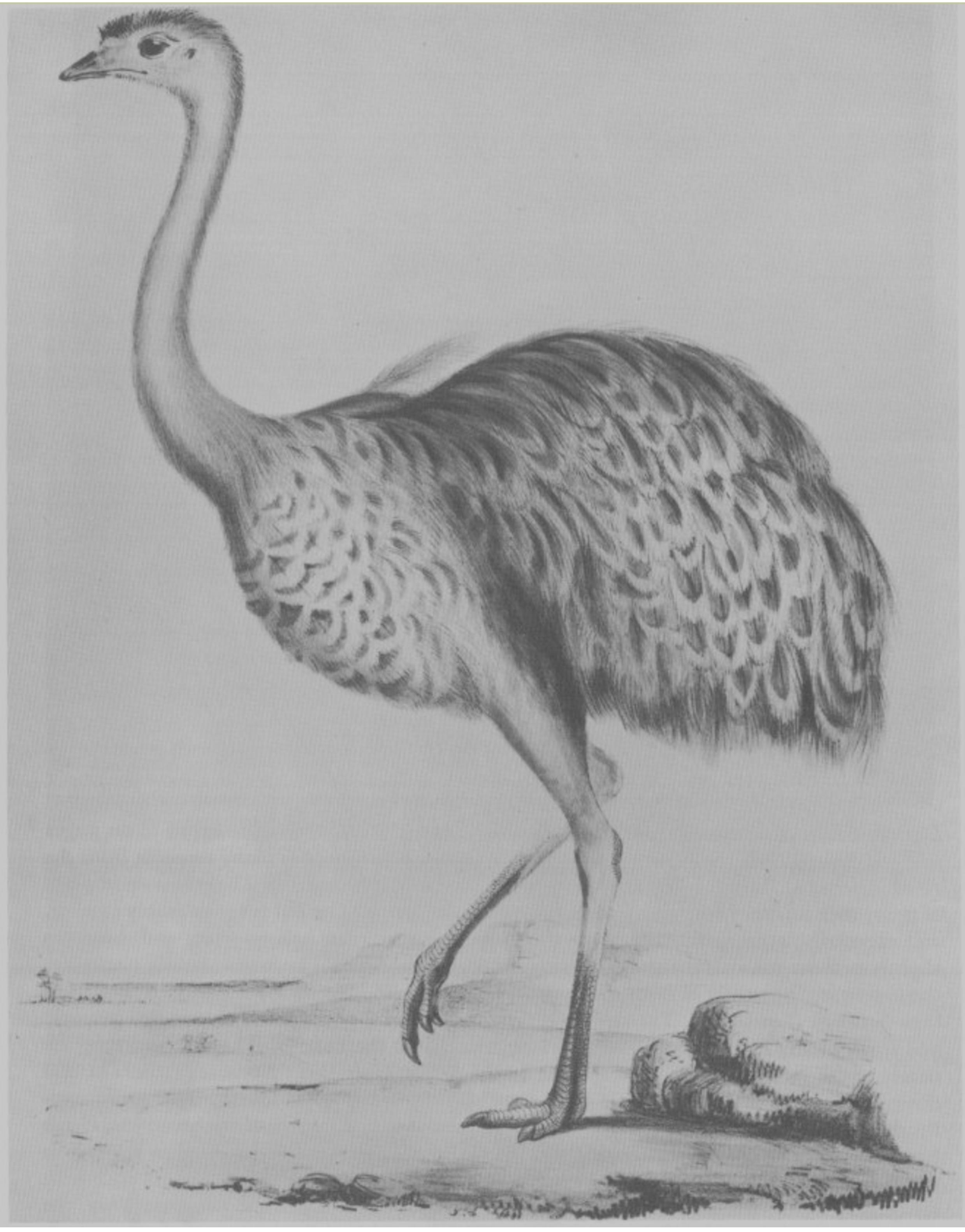 Not quite an ostrich, but near enough: Rhea Darwinii, from John Gould, The Zoology of the Voyage of the Beagle, Part III: Birds. London 1838-41.