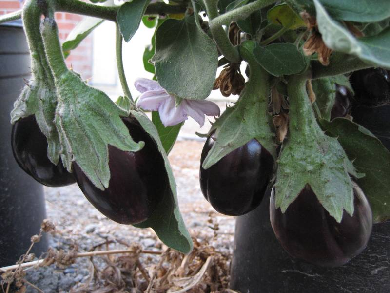 Large Of Black Beauty Eggplant