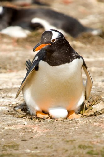 A Gentoo penguin with egg