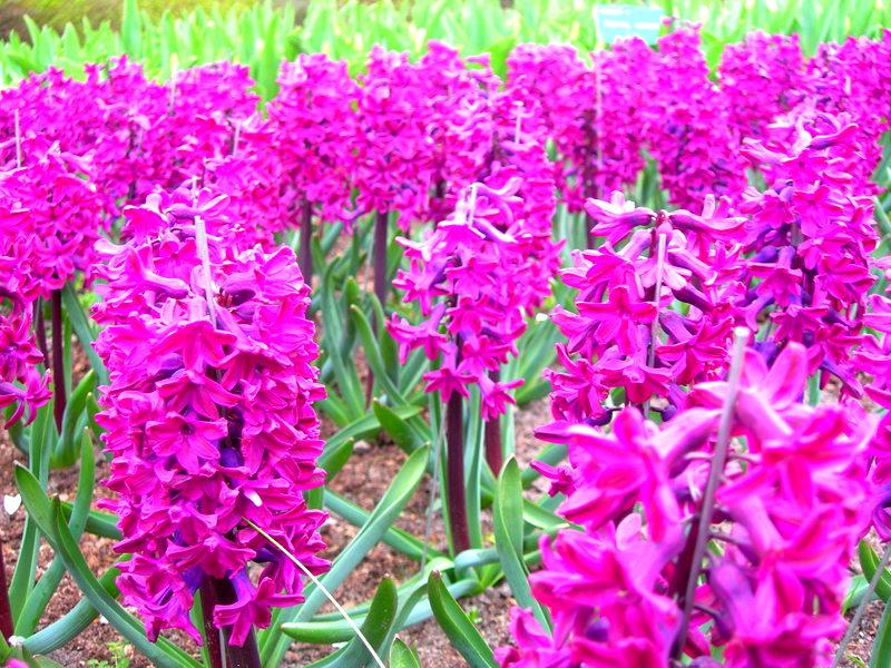 A kaleidoscope of color - Holland's Tulip Fields (6/6)