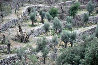 Przez stare gaje oliwne.