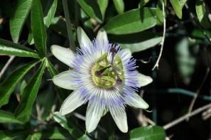 Passiflora, męczennica po naszemu.