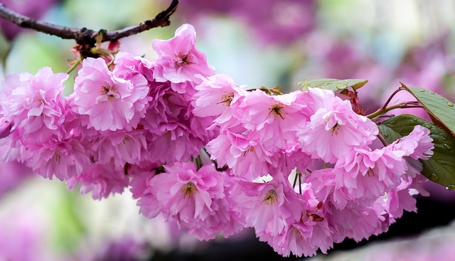 Sakura_Eye_Catch