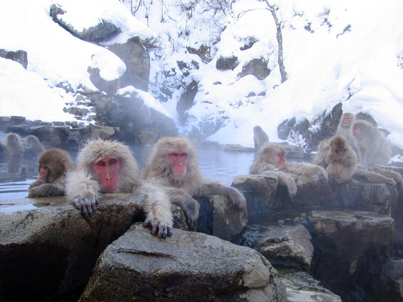 Snowmonkeys taking a bath