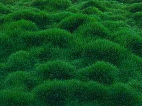1288477975 133319728 1 Pictures of Zoysia tenuifolia Korean Grass 7 Delivered Australia Wide 1288477975 550x412 Gramas: variedades e principais aplicaes (Parte 3)