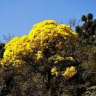 Ip-amarelo (Tabebuia alba)