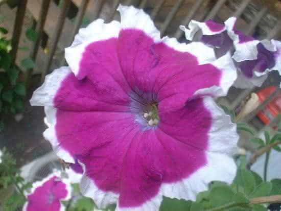 Petunia22 A petnia