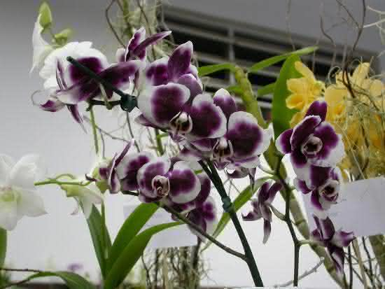 Phalaenopsis Desmon Gem x King Wong Now A orqudea falenpsis