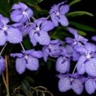 Vanda coerulea