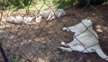 Sleepy boy lion with 2 sleepy girl lions.