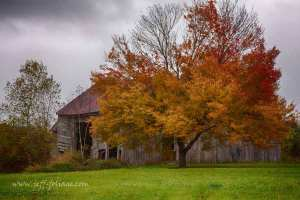 A multi-hued maple in front of an old barn.
