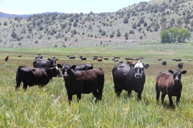 cattle, holistic management, California