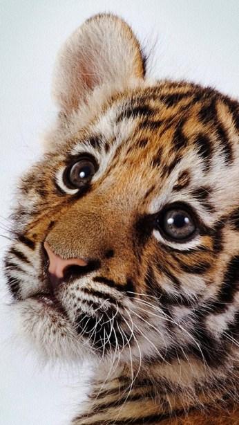tiger_kitten