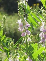 Metformin Galega officinalis French Lilac PlantJ effrey Dach MD