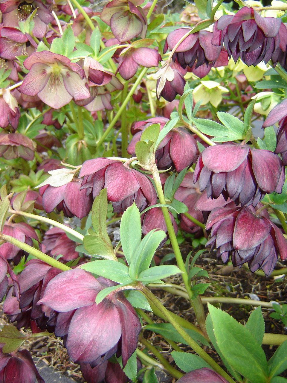 local flowers, American Grown, hellebores