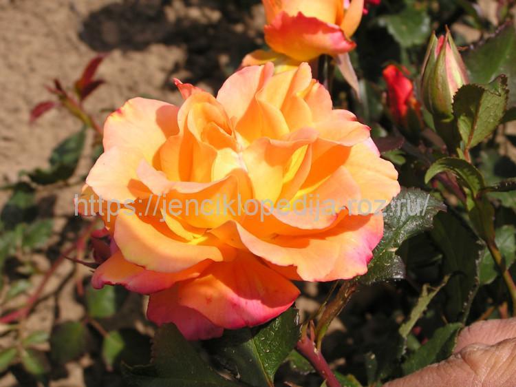 Розы: структура и особенности растения