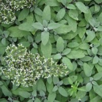 Sage - a useful winter herb
