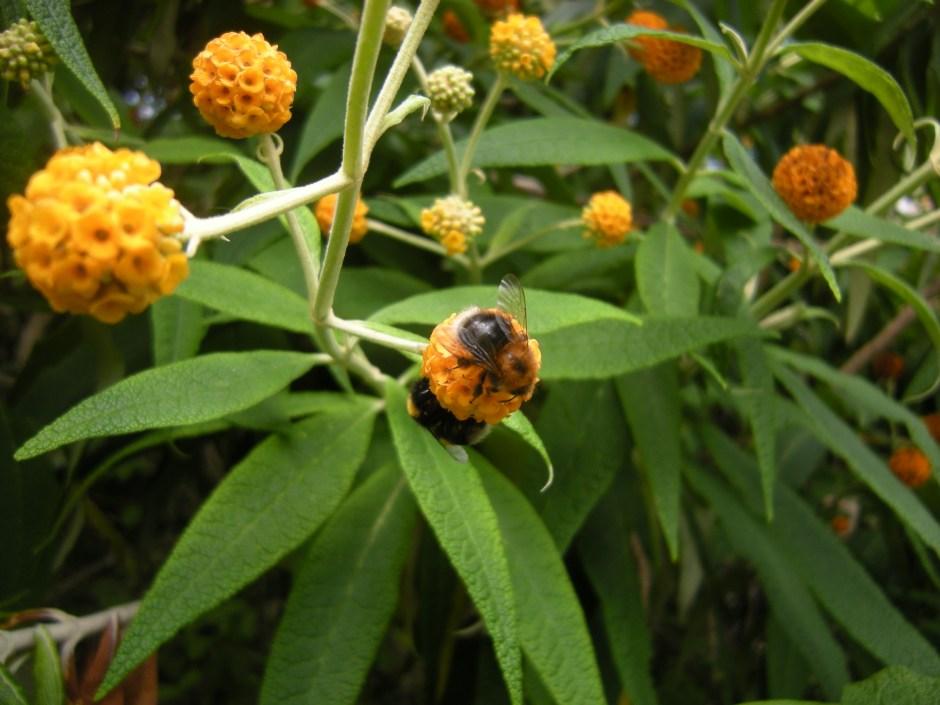 Bumblebees on Buddleja globosa