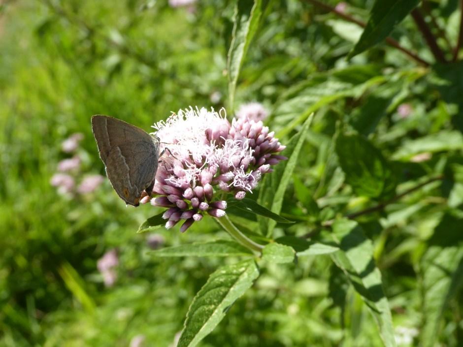 Purple Hairstreak butterfly on Hemp Agrimony