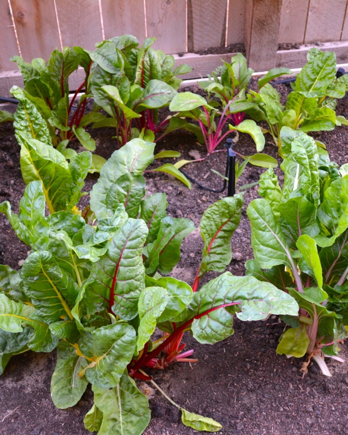 Rainbow Chard in the Garden