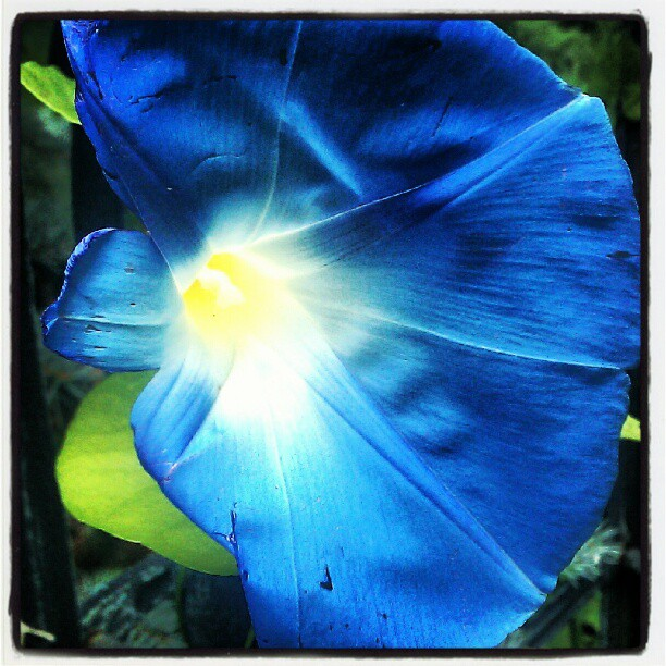 morning glory bloom