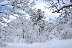 january-snow-covered-trees