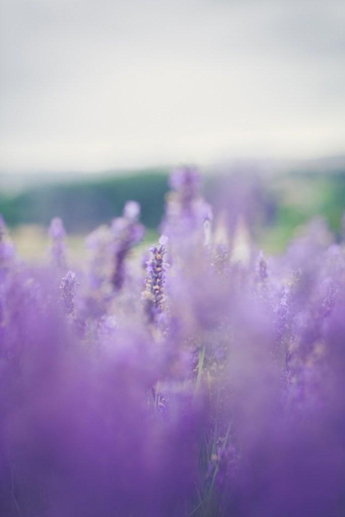 Hitchin-Lavender-Fields-43