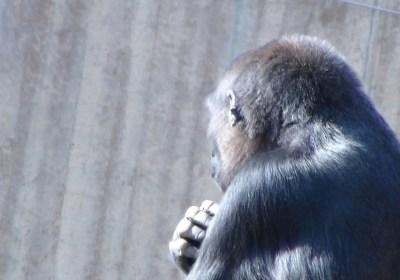 Chimpanzee reflecting at the National Zoo