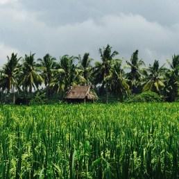 rice fields ubud bali