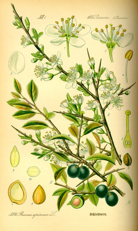 Illustration_Prunus_spinosa0