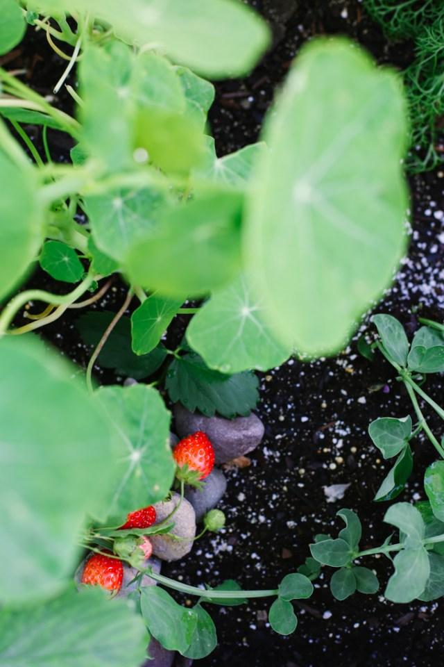 strawberry-plant-3