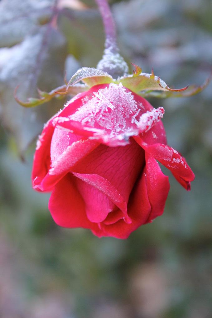 frosty-rose-1