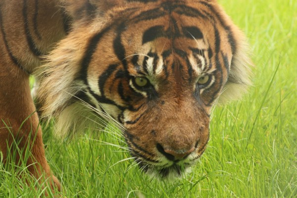 tiger in tourism at howletts zoo